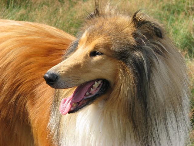Schöner Collie Hund
